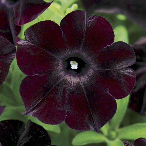 Petunia Black Magic