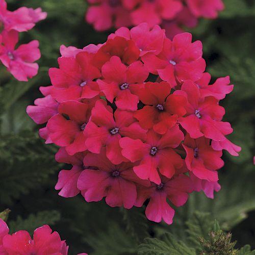 Verbena EnduraScape Hot Pink (pack of 3)