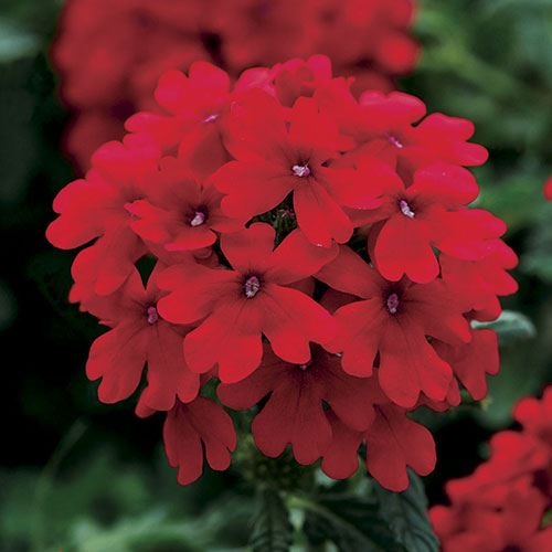 Verbena Endurascape™ Red