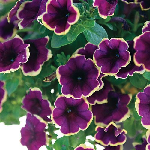 Petunia 'Surprise Moonlight Bay' (Pack of 3)