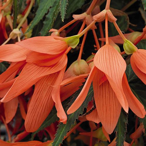 San Francisco Begonia (pack of 3)