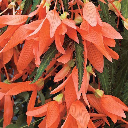 Begonia San Francisco™