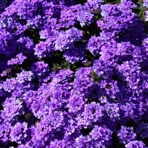 Verbena EnduraScape™ Blue Improved  (pack of 3)
