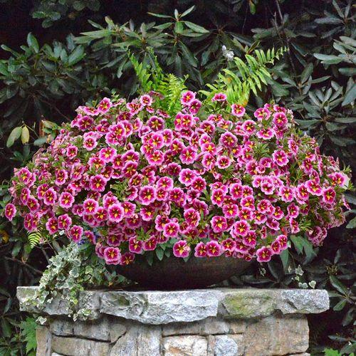 Calibrachoa Can-Can® Bumble Bee Pink