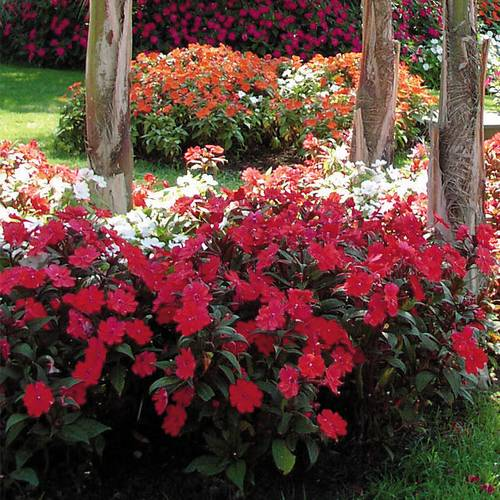 SunPatiens Vigorous Red Impatiens (pack of 3)