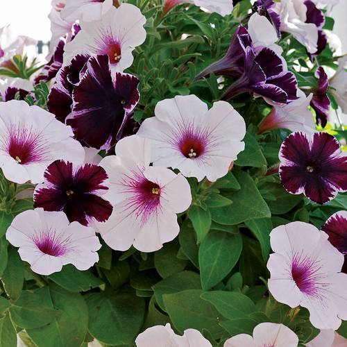 Petunia Confetti Garden Marvelous Orchid Combination (pack of 3)