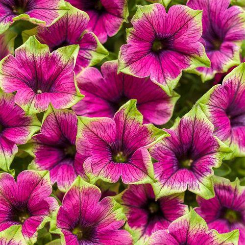 Supertunia® Picasso in Purple®