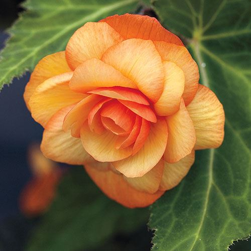 Illumination® Apricot Begonia (pack of 3)