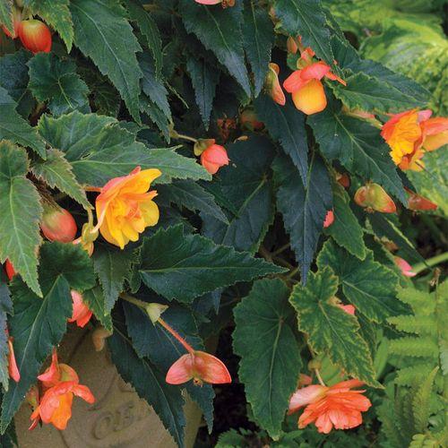 Illumination® Apricot Begonia (pack of 3)