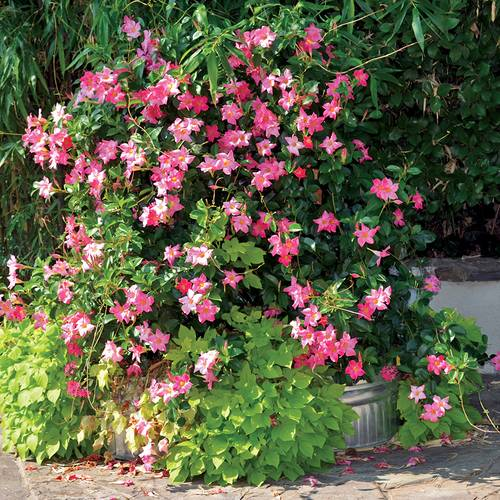 Dipladenia Mandinia™ Coral Pink (Pack of 3)
