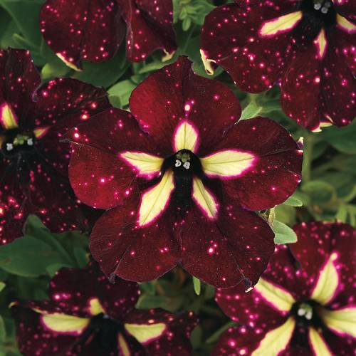 Petunia Headliner™ Starry Sky Burgundy