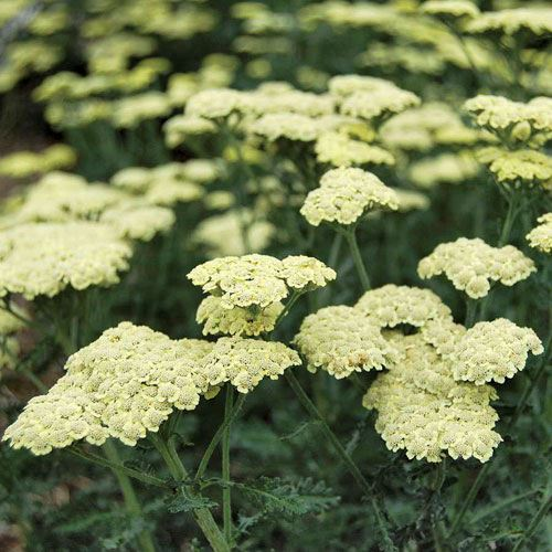 Moon Dust™ Achillea