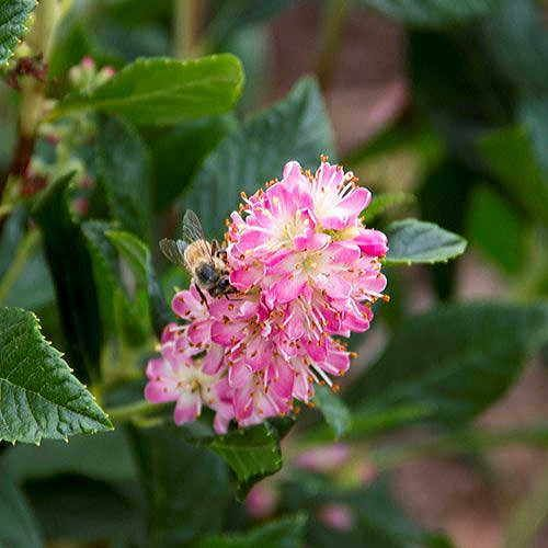 Ruby Spice Clethra alnifolia Summersweet Shrub