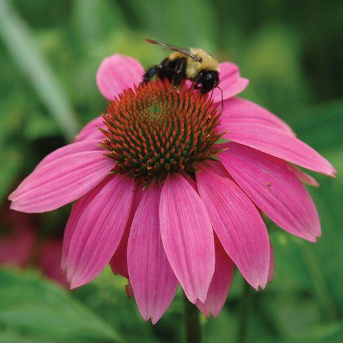 PowWow Wild Berry Coneflower
