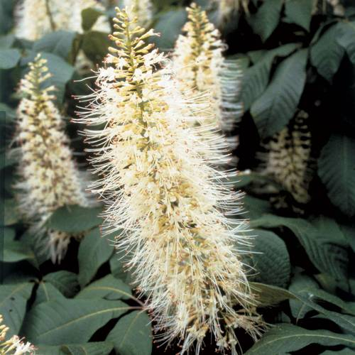 Bottlebrush Buckeye Tree