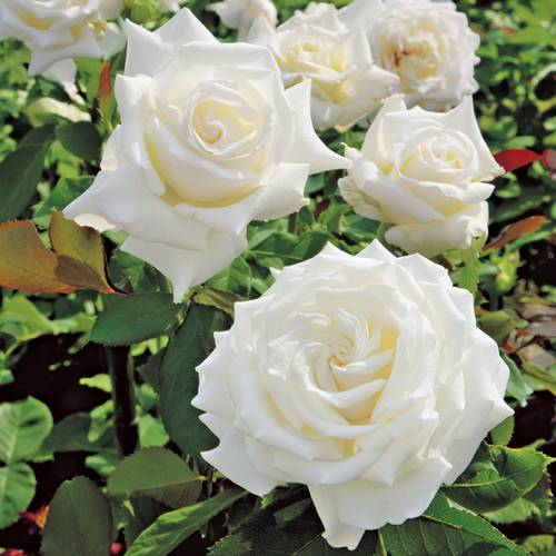 'Pope John Paul II' Hybrid Tea Rose