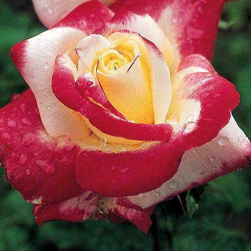 'Double Delight' Hybrid Tea Rose