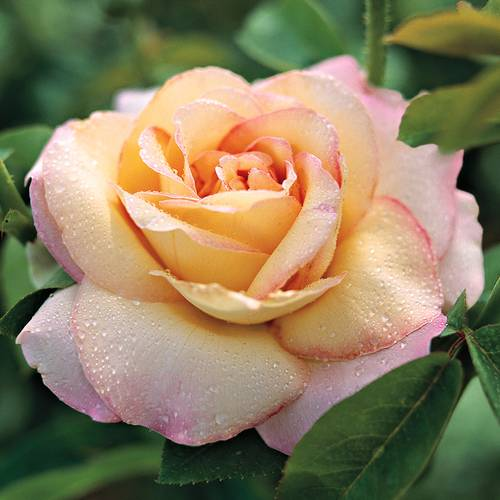 'Peace' Hybrid Tea Rose