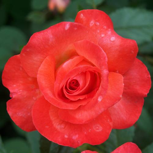 Sedona Hybrid Tea Rose