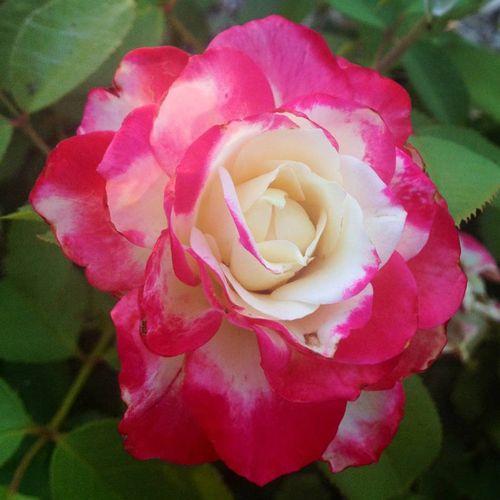 Cherry Parfait™ Grandiflora Rose