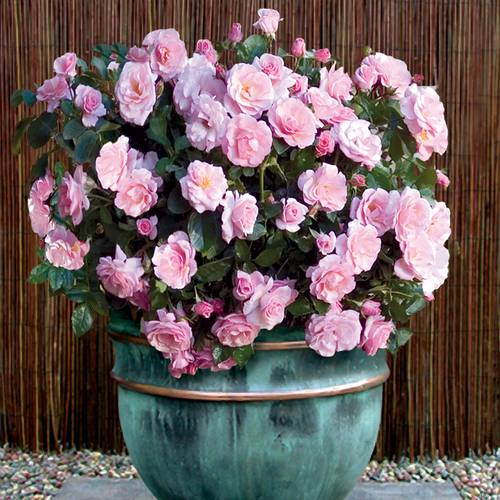 Roses Perfect for Containers