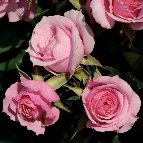 Kimberlina Floribunda Rose