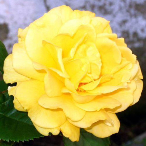 Julia Child Floribunda Rose