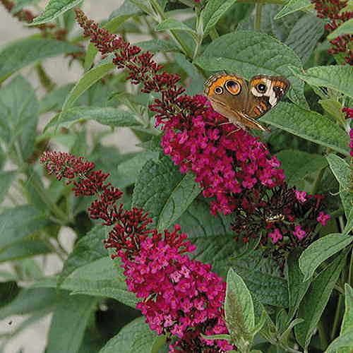 Miss Molly Butterfly Bush