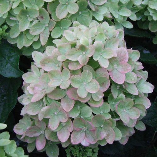 Little Lime™ Hydrangea
