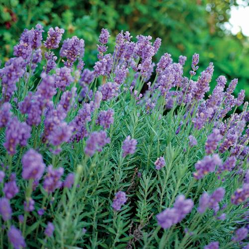 Lavandula Phenomenal™