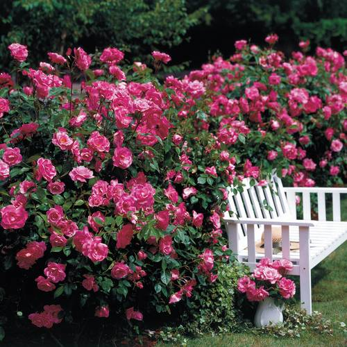 Simplicity® Roses