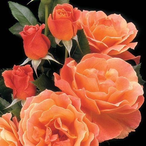 Livin' Easy™ Floribunda Rose