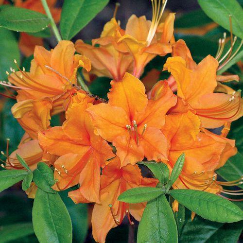 Tangerine Delight Azalea