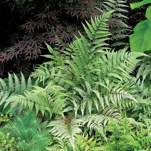 Ghost Lady Fern