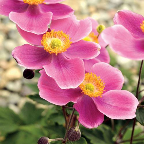 Anemone 'Lucky Charm'