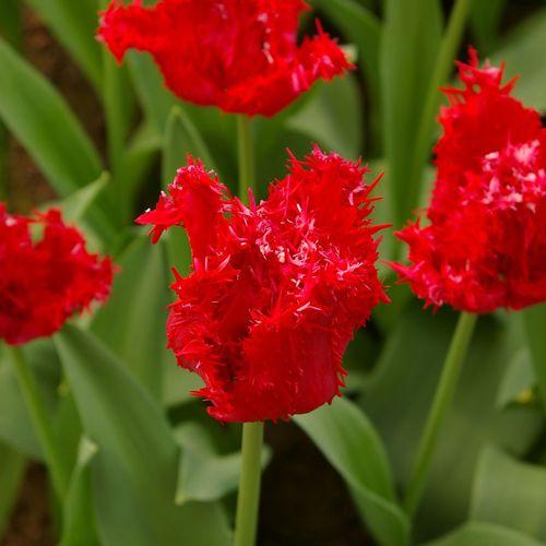 Barbados Tulip