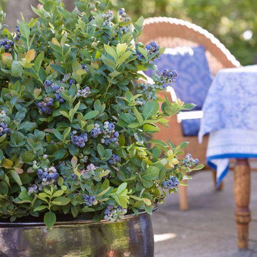 BrazelBerries® Peach Sorbet™ Blueberry