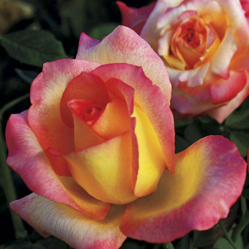Royal Welcome® Hybrid Tea Rose