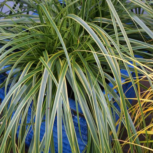 Evercolor™ Everlime Weeping Sedge