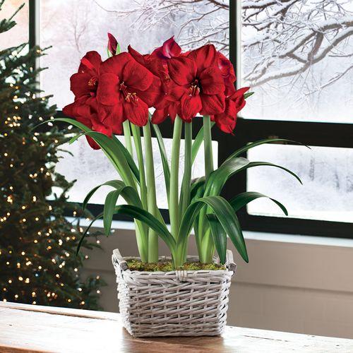 Charming Christmas Amaryllis