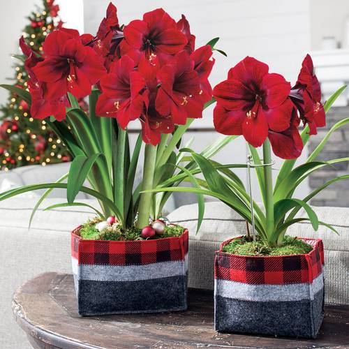 Winter's Warmth Amaryllis