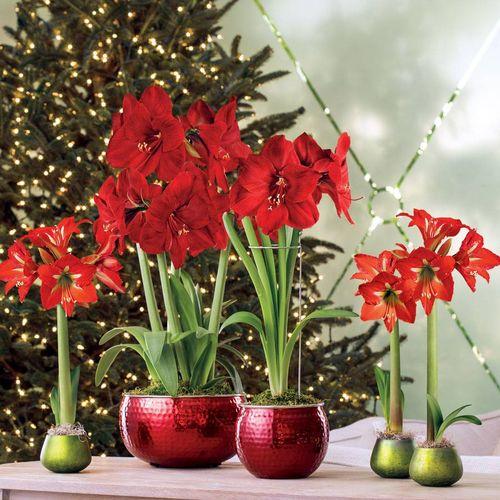 Ruby Red Amaryllis