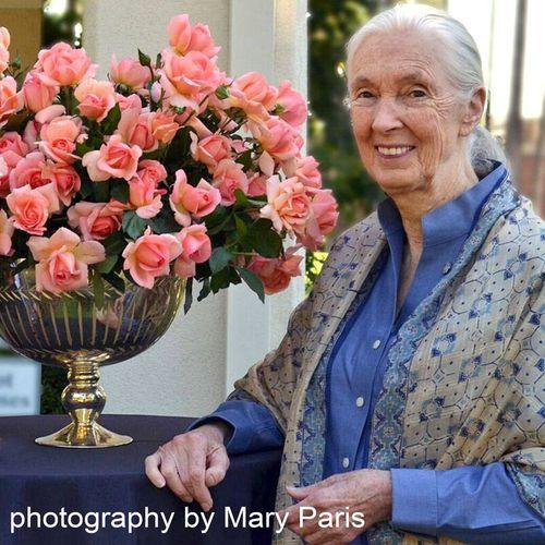 Dr. Jane Goodall Hybrid Tea Rose