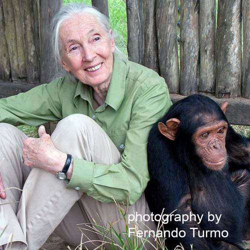 'Dr. Jane Goodall' Hybrid Tea Rose