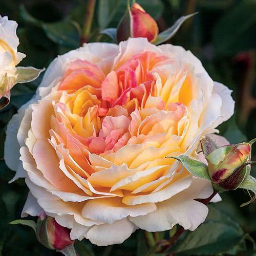 La Park Floribunda Rose