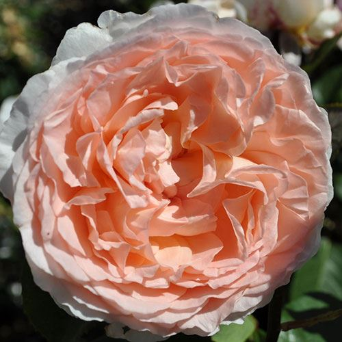 Bliss Parfuma® Grandiflora Rose