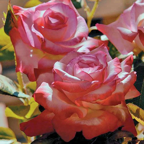 Gemini™ Hybrid Tea Rose