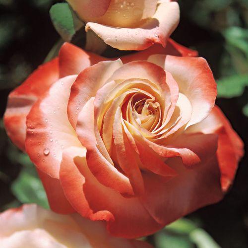 Sheer Magic™ Hybrid Tea Rose