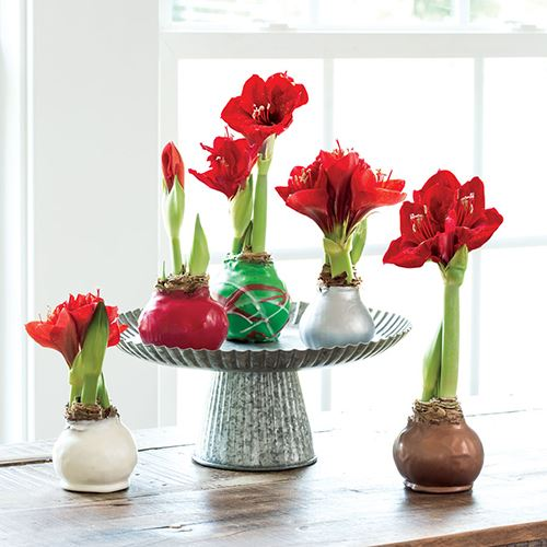 Waxed Amaryllis Bulbs