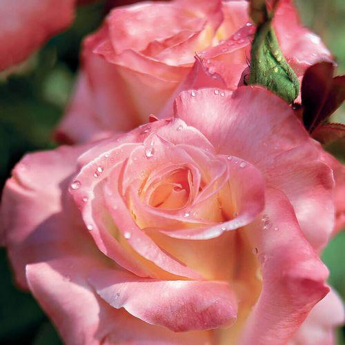 Elegant Lady Hybrid Tea Rose